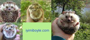 Dünyanın En Tatlı Hayvanlarından Biri Olan Kirpiler