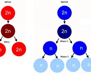 Mitoz ve Mayoz Bölünme Arasındaki Farklar