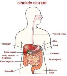 sindirim-sistemi