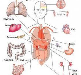 İç Organlarımız Hakkında 10 İlginç Bilgi