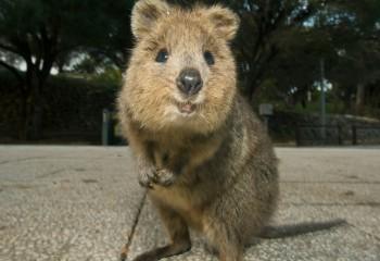 Dünyanın En Mutlu Hayvanı Quokka Nedir?