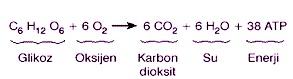 Oksijenli-Solunum