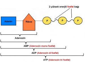 atp-adenozintrifosfat