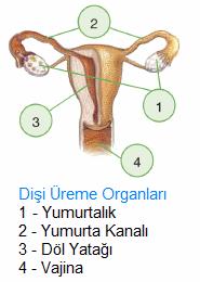 disi-ureme-organlari