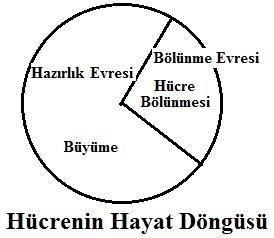 hucrenin-hayat-dongusu