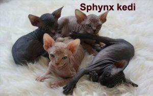 sphynx-kedi