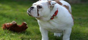 En Popüler Erkek Bulldog İsimleri