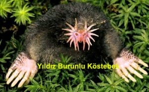 yildiz-burunlu-kostebek