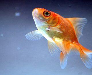Japon Balıkları Hakkında 8 İlginç Bilgi