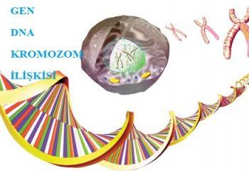 Gen, DNA ve Kromozom İlişkisi