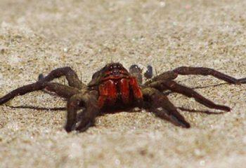 Dünyanın En Zehirli Örümceği Hangisidir