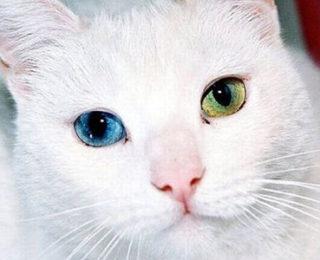 Van Kedisi Hakkında Herşey