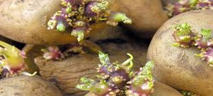 Mutfaktaki Patates ve Soğanların Yeşillenme Sorununu Nasıl Çözeriz