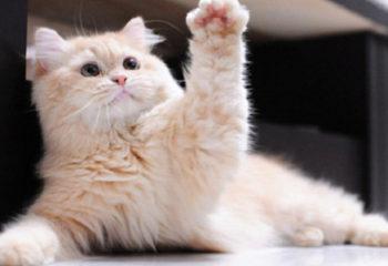 Kedi Patisi Hakkında İlginç Bilgiler