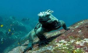 deniz-iguanasi
