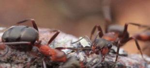 Ormanların Kahramanı Kırmızı Orman Karıncası