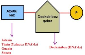 nukleotidler